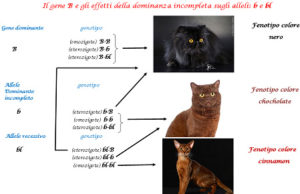 gene dominanza gatto